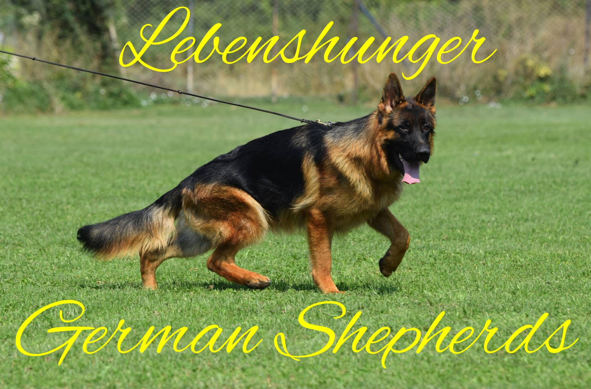 Lebenshunger German Shepherds Logo